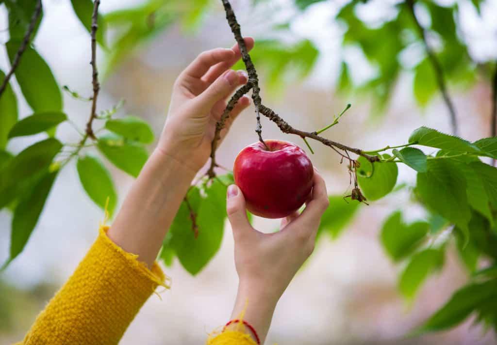 kobieta zrywająca jabłka