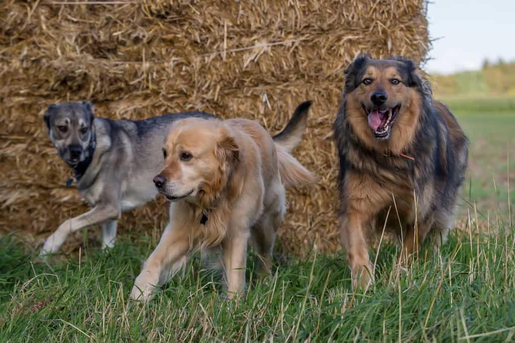 psy biegające po łące
