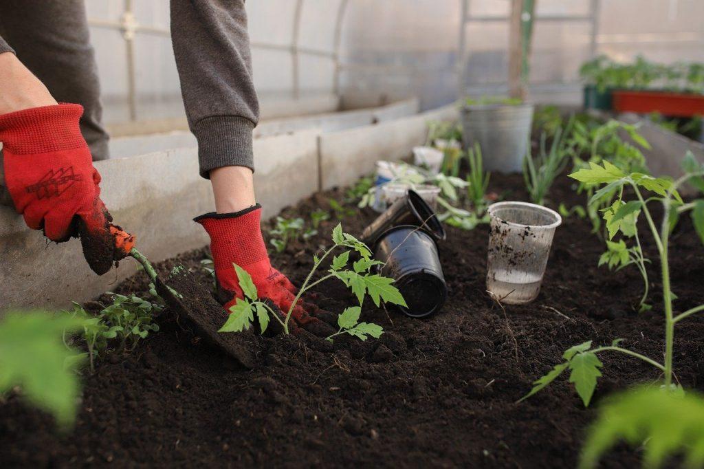 ogrodnik uprawia warzywa w szklarni